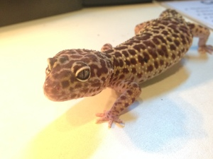 Spot the Leopard Gecko