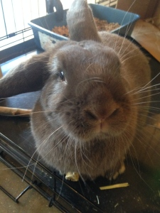 Hershey the Rabbit