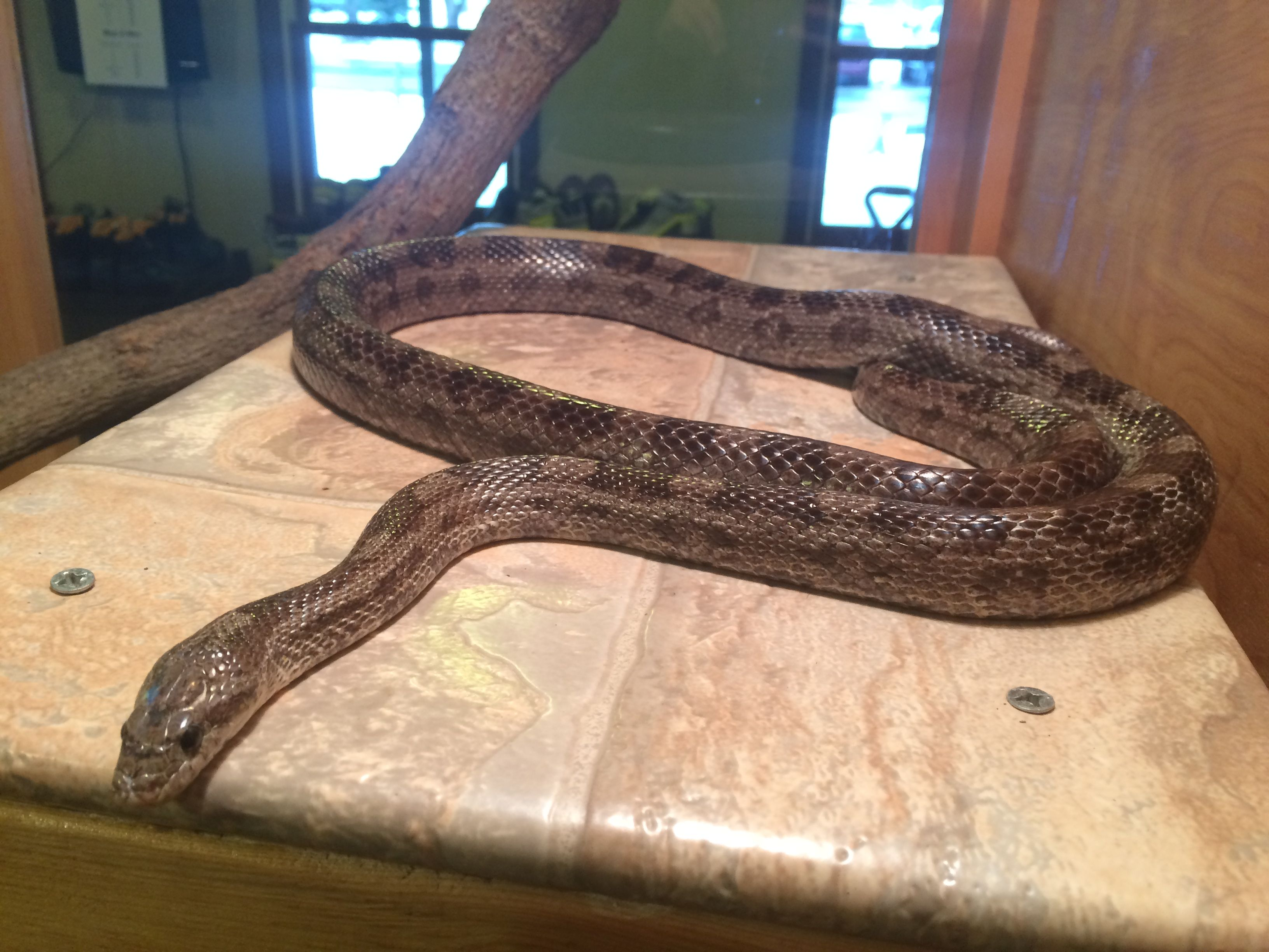 Corn Snakes Sarett Nature Center