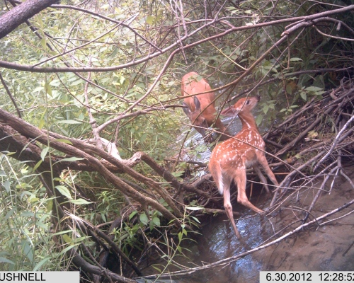 White-tailed deer fawn and Mother