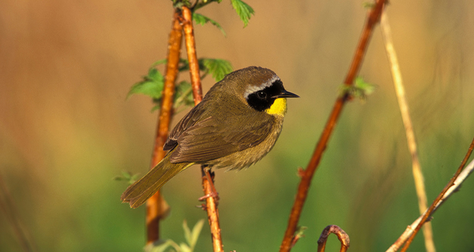 Membership slider yellowthroat