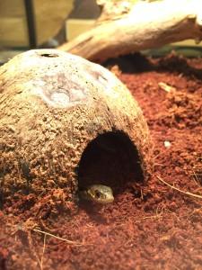 garter snake baby