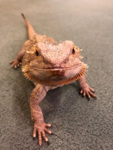 Bearded Dragon, Sydney